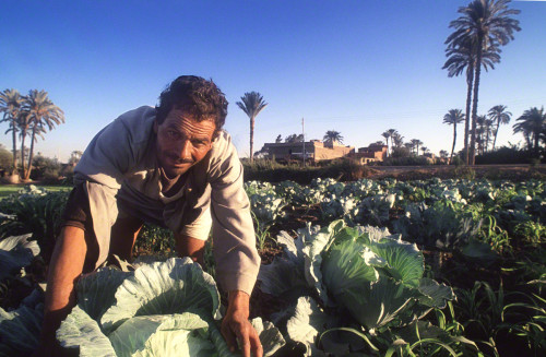 A cabbage farmer in Egypt.
