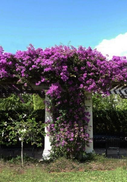 carol_purple 'T'