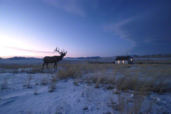 elk-standing-next-to-house-in-Montana205511-600x401_DM