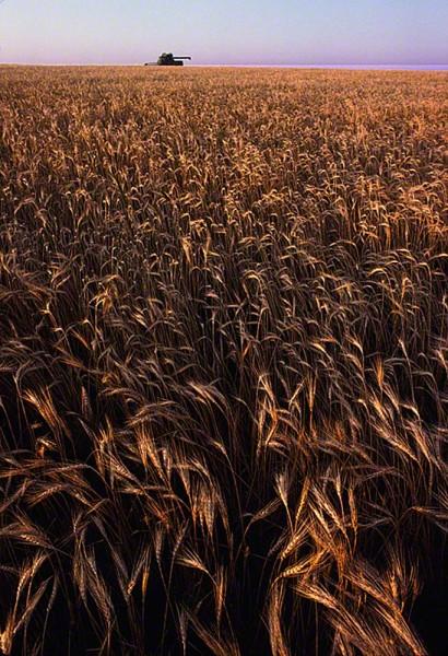 wheatwithtractorDM