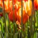 tulips-1 thumbnail